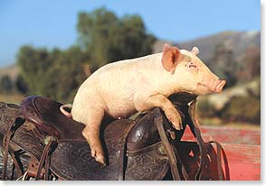 Birthday Card - Staff Pick - Living High on the Hog | Kimball Stock | 16679 | Leanin' Tree