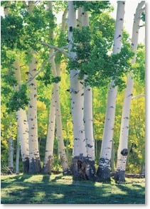 Blank Card - Grand Aspens  | John Fielder | 2003824-P | Leanin' Tree