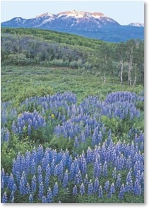 Blank Card - Lupine on Kebler Pass - Gunnison National Forest | John Fielder | 2003826-P | Leanin' Tree