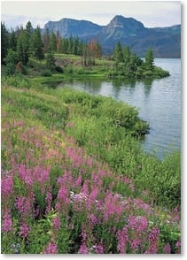 Blank Card - Trappers Lake Fireweed - Colorado | John Fielder | 2003828-P | Leanin' Tree