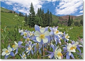 Blank Card - High Country Blue Columbine | John Fielder | 2003909-P | Leanin' Tree